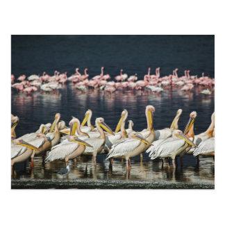 White Pelicans, Pelecanus onocrotalus, Lake Postcard