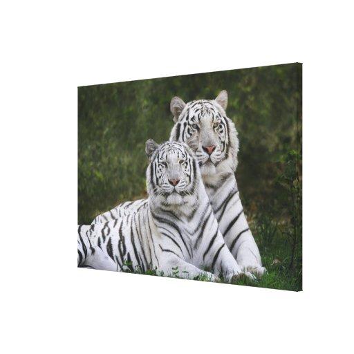 White phase, Bengal Tiger, Tigris Canvas Prints