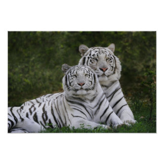 White phase, Bengal Tiger, Tigris Poster