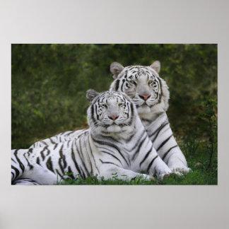 White phase Bengal Tiger Tigris Print