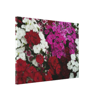 White, Pink and Red Dianthus Floral Photography Canvas Print