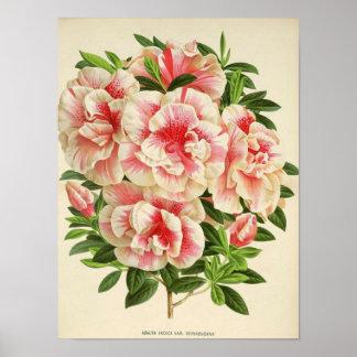 White & Pink Azaleas Poster