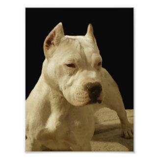 White Pitbull Terrier Photo Print