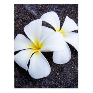 White Plumeria Flower Frangipani Floral Lava Rock Postcards