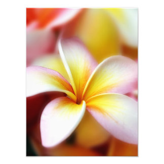 White Plumeria Frangipani Hawaii Flower Hawaiian Photo Print