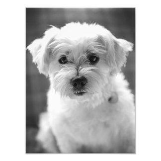 White Puppy Dog - Good Morning! Photo Print