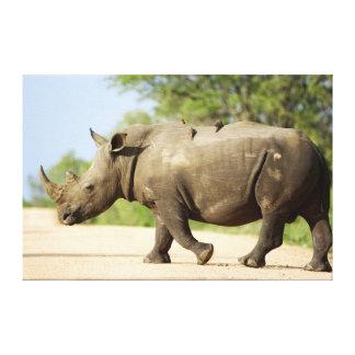 White Rhinoceros Crossing Road Canvas Prints
