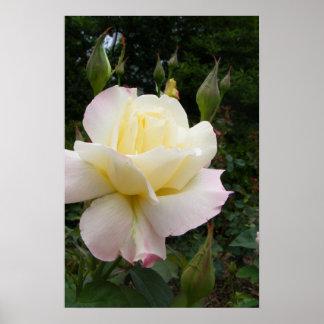 White Rose 001 Poster