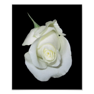 White Rose #1 Print