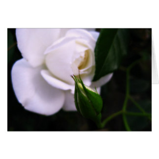 White Rose and Rose Bud Note Card