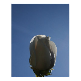 White rose bud backlit against blue sky posters