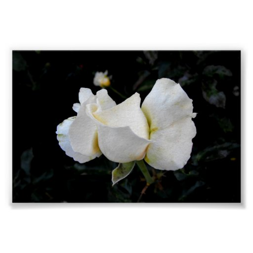 White Rose Bud Posters