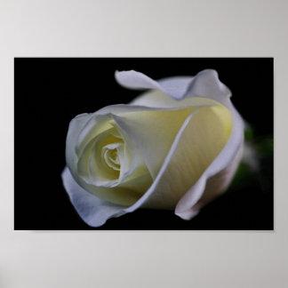 White Rose Bud Print
