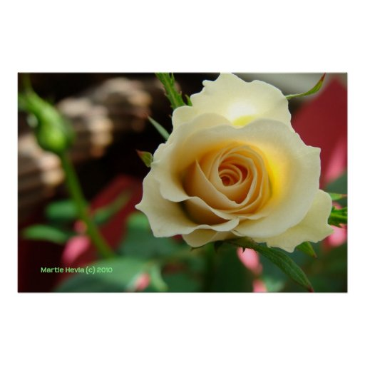 White Rose Bud Print/Poster - Select Your Frame