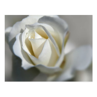 White Rose Garden Flower Beautiful Postcard