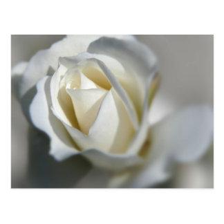 White Rose Garden Flower Beautiful Postcard