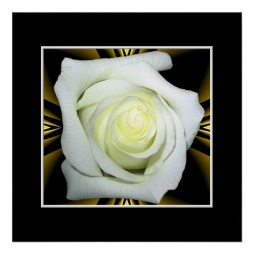 White Rose on Black and Gold Background Poster