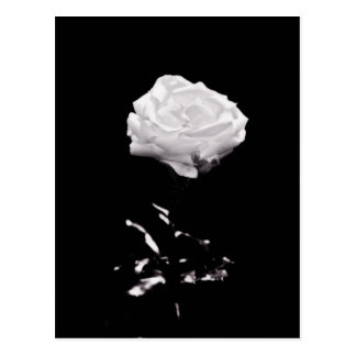 White Rose on Black Background Postcard