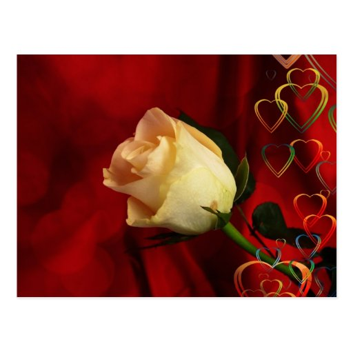 White rose on red background postcards
