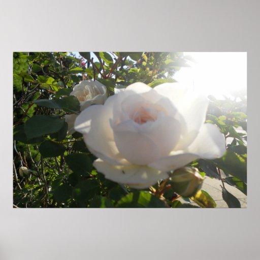 White Rose Poster/ Print