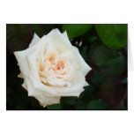 White Rose With Natural Garden Background