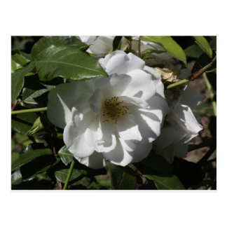 White rose with shadow of leaves falling on it postcard