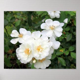 White Roses 9158 Poster