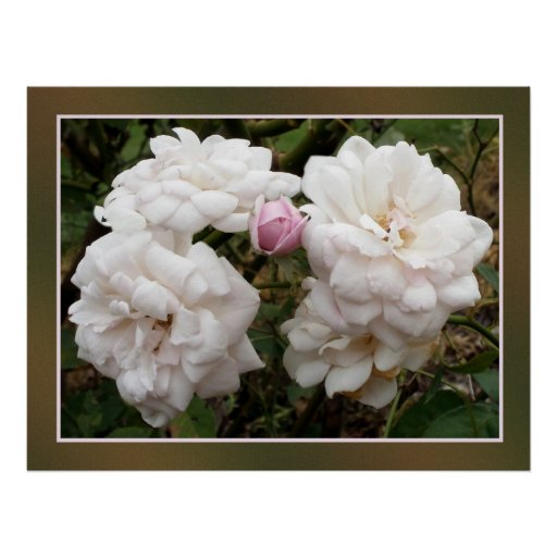 White roses with border poster