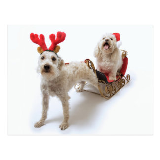 white schnoodle standing with red christmas postcard