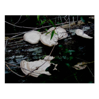 White Shelf Fungus OBX Postcard