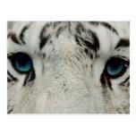 White Siberian Tiger Photograph Postcards