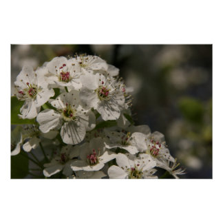 White Spring Blossoms Poster