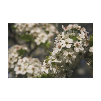 White Spring Blossoms Stretched Canvas Print