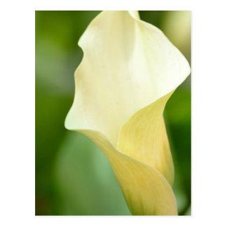 White Spring Calla Lily Postcard