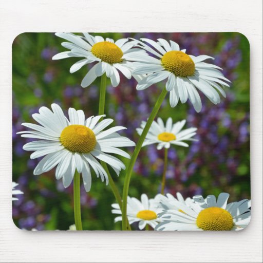 White spring daisies in bloom mouse pad