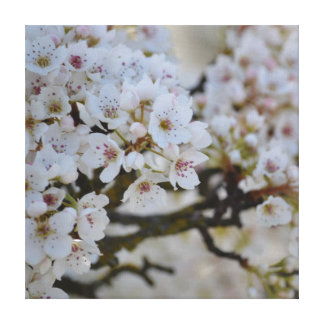 White Spring Flowering Tree Stretched Canvas Prints