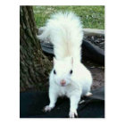 White Squirrel Postcard