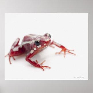 White-striped Poison Dart Frog 2 Poster