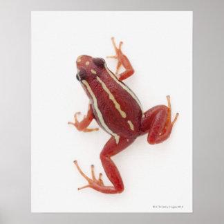 White-striped Poison Dart Frog Poster