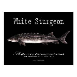 White Sturgeon-Black-Postcard Postcard
