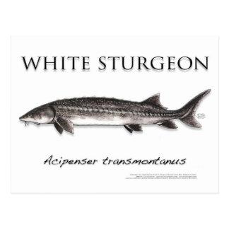 White Sturgeon-White-Postcard-3D Postcard