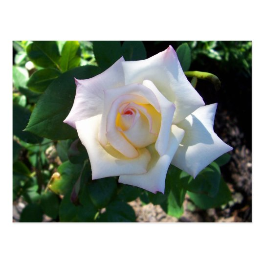 White Summer Rose Postcard