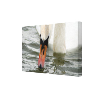 White swan in water canvas print