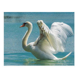 White Swan Postcard