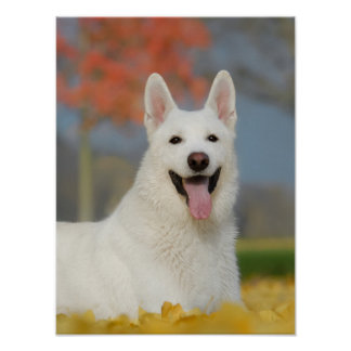 White Swiss Shepherd Dog Photo, Cute Furry Friend Poster