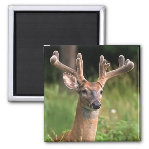 White-Tail Deer 10 Point Buck Magnets