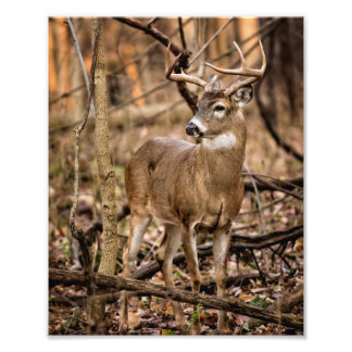White Tail Deer Buck Photographic Print