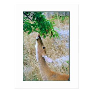 'White-Tail Deer Eating' Postcard