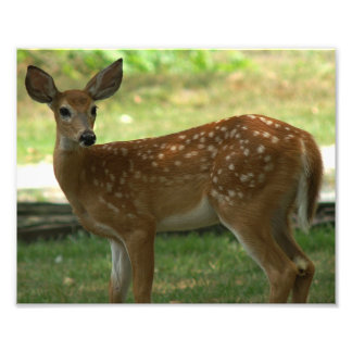 White-tail Deer Photo Print
