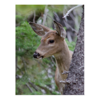 White Tail Deer Portrait Fishercap Lake Postcard
